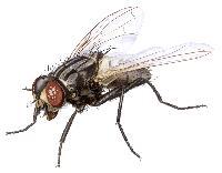husflue