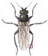 springflue