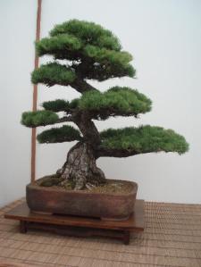 bonsai-gran